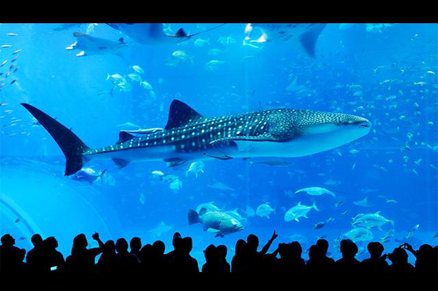 [ A course;从那霸出发, 每天运行] 冲绳美丽海水族馆+古宇利岛+万座毛+名护凤梨公园的满意之旅