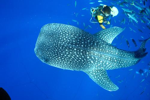 ★鲸鲨回来了!★和鲸鲨同游吧!与鲸鲨浮潜・体验深潜・执照深潜~¥9,100~¥13,400