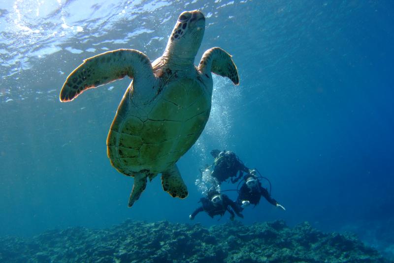 [한국어대응][스노클링/체험다이빙/펀다이빙] 케라마에서 바다거북이와 함께하는 스노클링